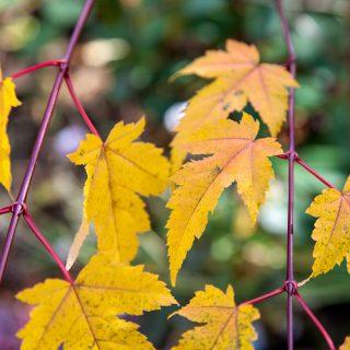 Acer tschonoskii ssp. koreanum - komarovlönn