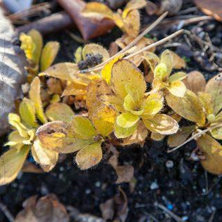 Rhododendron camtschaticum 'Album' - kamtjatka azalea