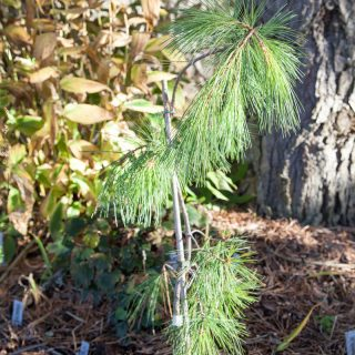 Pinus strobus 'Pendula' - weymouthtall