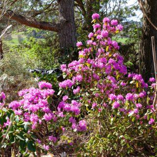 Rhododendron Minus-grp 'PJM'