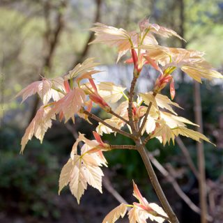 Acer pseudoplatanus 'Brilliantissimum' - tysklönn