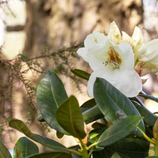Rhododendron Dichroanthum-grp 'Phyllis Korn'