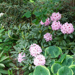 Kvarteret rhododendronsträckan - Rhododendron 'Gräfin Sonja'