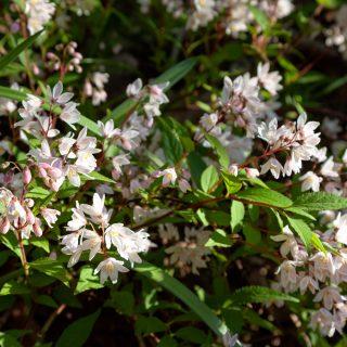D-E-F-G Deutzia gracilis 'Yaku Cherry Blossom' - bruddeutzia