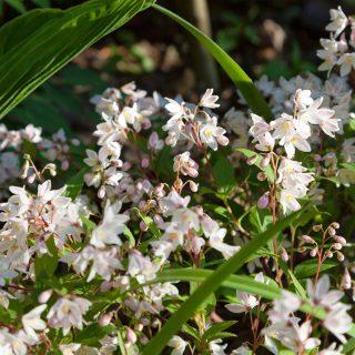 Deutzia gracilis 'Yaku Cherry Blossom' - bruddeutzia