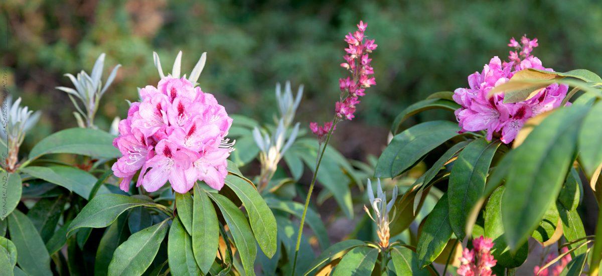 Rhododendronhybrider med mer än vacker blomning