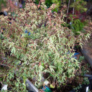Acer palmatum 'Okukuji Nishiki' - japansk lönn