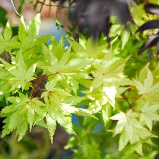 Acer palmatum 'Summer Gold' - japansk lönn