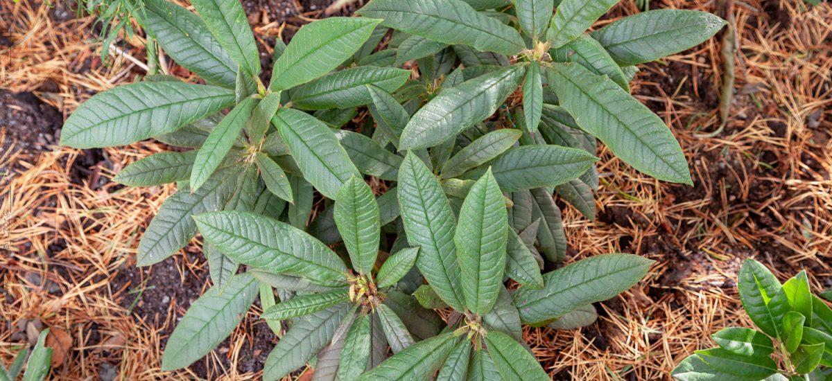 Rhododendronarter G-I