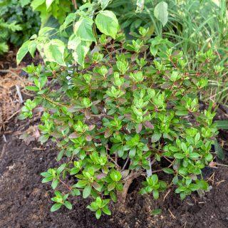20180820-0111-rhododendron-keiskei-grp-june-bee