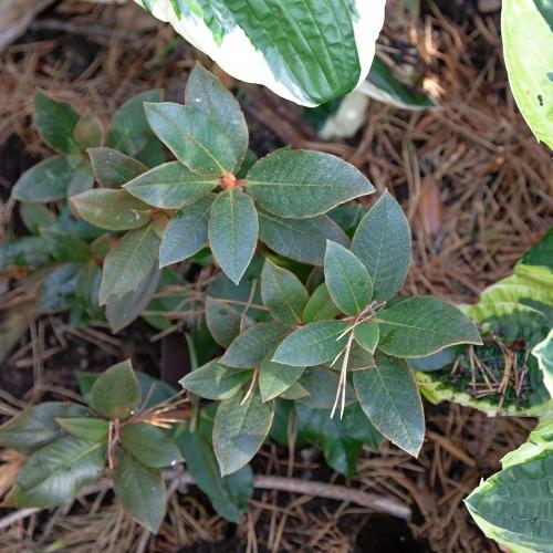 Rhododendron bureavii 'Ardrishaig' - kanelrododendron