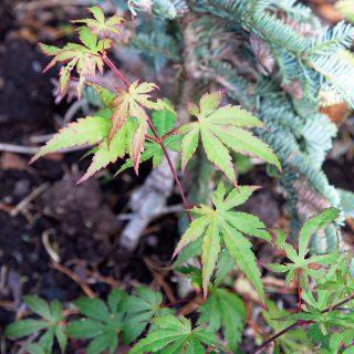 Acer micranthum - småblommig guldlönn