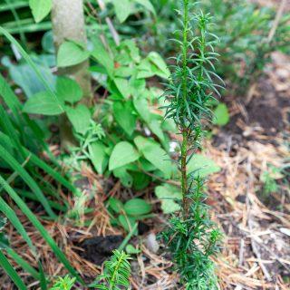 Taxus baccata 'Litfaß' - idegran pelarformad