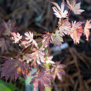 Acer sieboldianum 'Sode No Uchi'