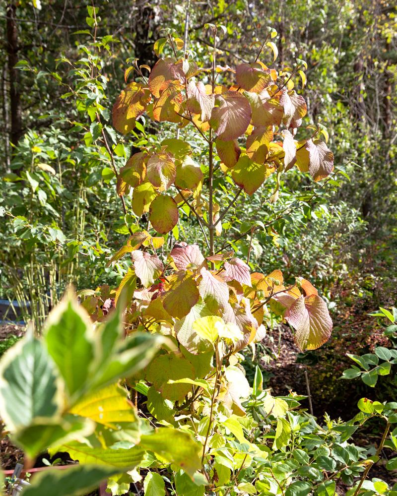 Viburnum furcatum - gaffelolvon i höstfärger