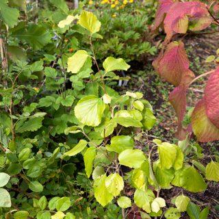 Vackra träd och buskar - Parrotiopsis jacquemontiana