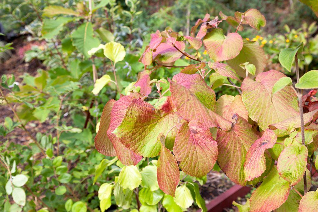 Vackra träd och buskar - höstfärg - Viburnum furcatum - gaffelolvon i höstfärger