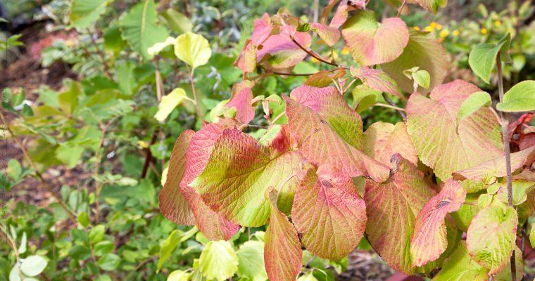 Vackra träd och buskar – höstfärg