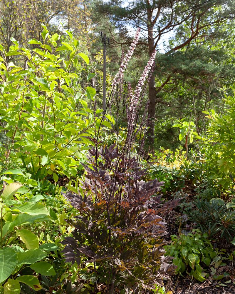 Big Dude - kvarter med torvjord - Actaea simplex 'Chocoholic'