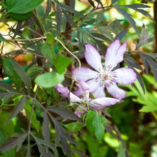 Clematis 'Tae', tidiga storblommiga-grp