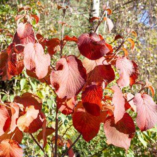 Viburnum furcatum - japanskt gaffelolvon i höstfärger