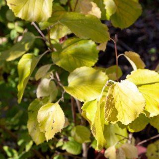 Parrotiopsis jacquemontiana i höstfärger