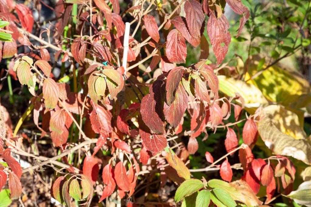 Viburnum plicatum f. tomentosum 'Kilimandjaro' - olvon