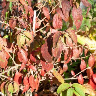 Viburnum plicatum f. tomentosum 'Kilimanjaro' - olvon