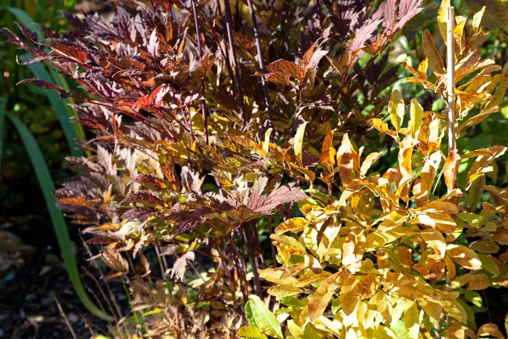Oktoberdag och färgfyrverkeri i trädgården - Actaea simplex 'Chocoholic'