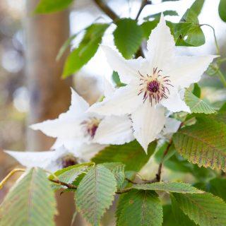 Clematis 'Sparkler', tidiga storblommiga-grp