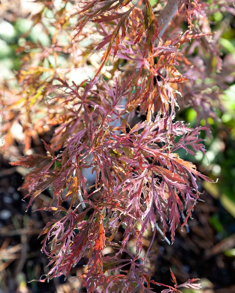 Acer palmatum 'Hana Matoi' - höstfärger