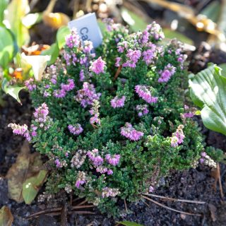 Calluna vulgaris 'Sister Anne', ljung eller höstljung
