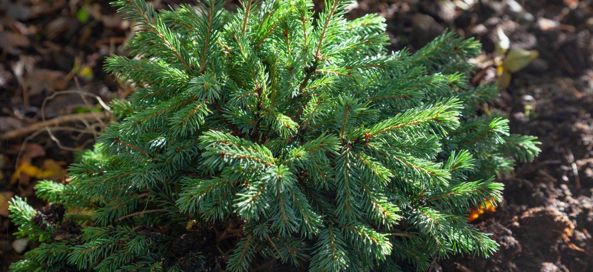 Barr träd & buskar ger grönska vintertid