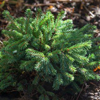 Barr - Picea glauca 'Echiniformis', vitgran