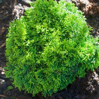 Chamaecyparis obtusa 'Butterball', japansk ädelcypress