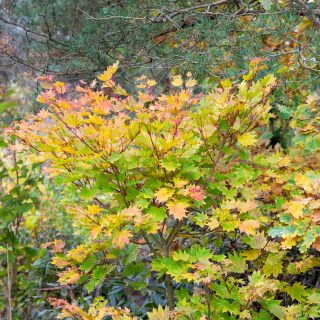 Acer shirasawanum 'Aureum' autun colour - japansk gyllenlönn höstfärg