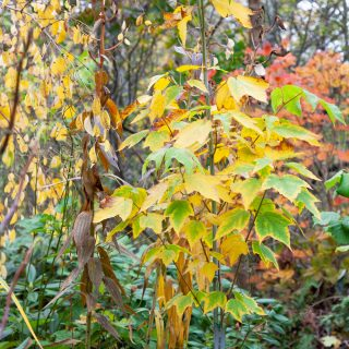 Acer capillipes - japansk strimlönn, höstfärg