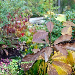 Magnolia en jämförelse - Magnolia obovata - junimagnolia
