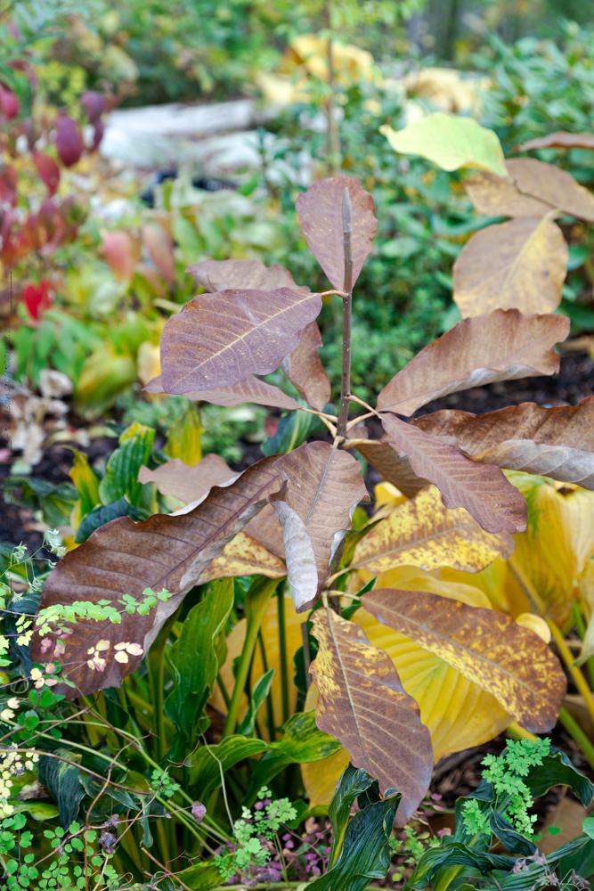 Magnolia obovata - junimagnolia i höstfärg