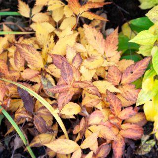 Gillenia trifoliata 'Pink Profusion' - trebladsspira, höstfärger