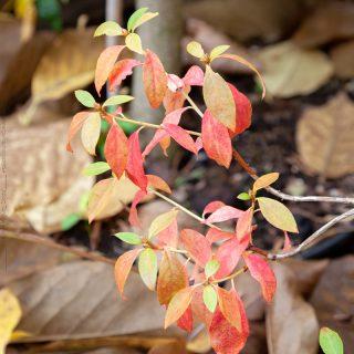 Rhododendron mucronulatum 'Cornell Pink' - storblommig vinteralpros