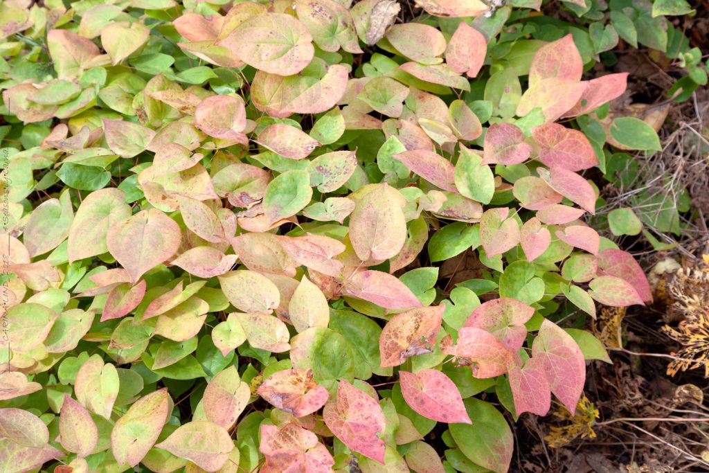 Epimedium x versicolor - sockblomma, autumn color