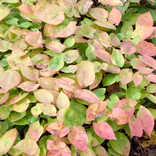 Epimedium x versicolor - sockblomma, autumn color