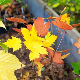 Acer pseudoplatanus f. purpurea