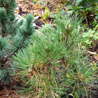 Pinus nigra 'Spielberg' - svarttall 'Spielberg'