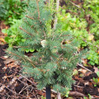Picea pungens 'Maigold' - blågran