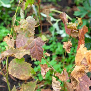 Acer insulare - autumn