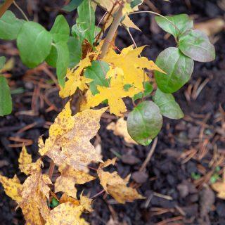Acer truncatum - kinesisk spetslönn - autumn