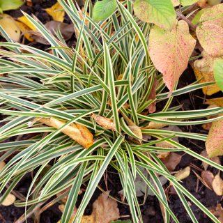 Carex morrowii 'Vanilla Ice Cream'