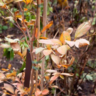 Stewartia pseudocamellia - japansk skenkamelia - autumn